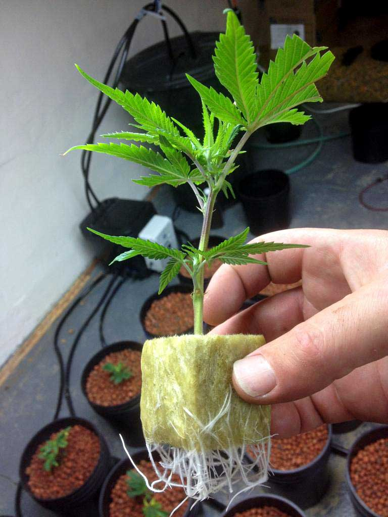 picture guide to cloning marijuana grow weed easy. Black Bedroom Furniture Sets. Home Design Ideas