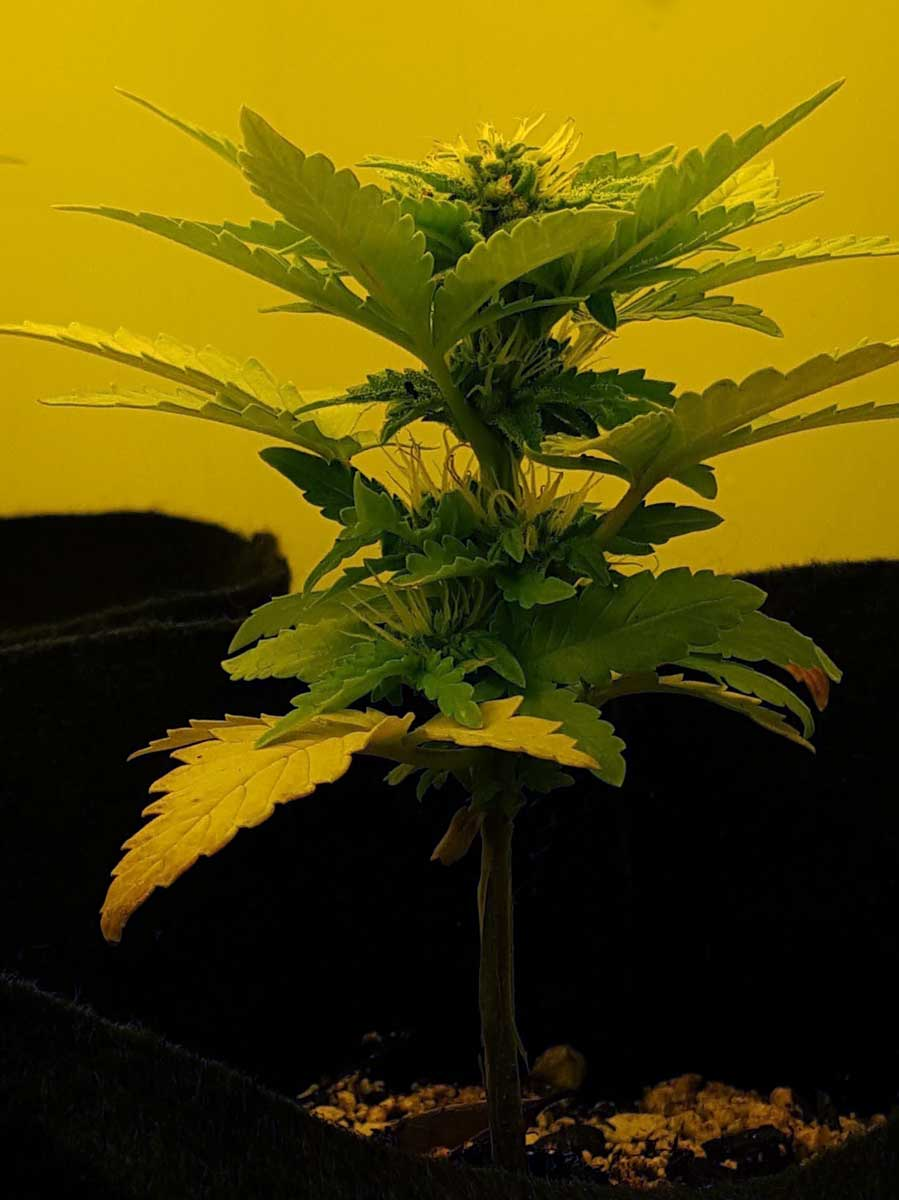 How to Train Auto-Flowering Cannabis Plants   Grow Weed Easy