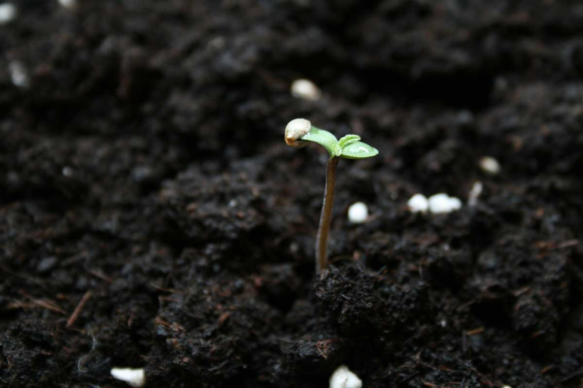 What type of soil works best for growing cannabis grow for From the soil