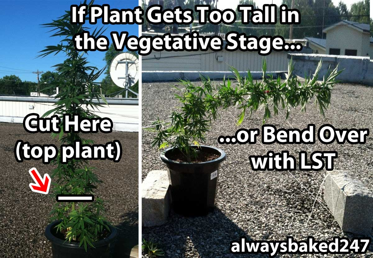 how to stop roses growing too tall