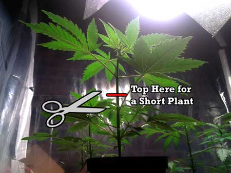 Top here for a shorter plant