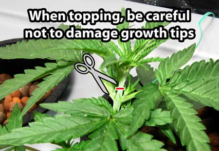 "Be careful not to damage your growth tips when topping - these will become new main stems, and this ""elbow"" is also where buds form"