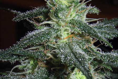 Look at the glittery trichomes on your cannabis to determine the best time to harvest!