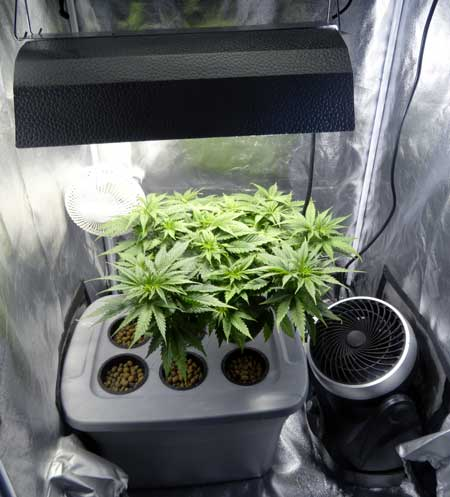 Vegetative marijuana plants growing under a 250W HPS in a DWC setup - there's only room for one reservoir in this grow tent