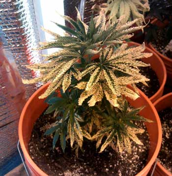 This is  a very sick cannabis plant - in this case it was caused by severe over-nuteing