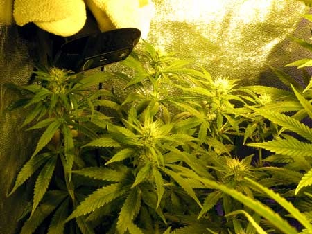 Use a webcam to make your own cannabis growing time-lapse videos!