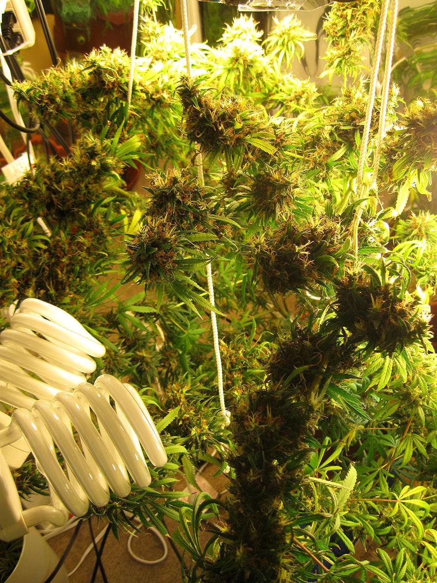 Easy Beginner Grow Cannabis Guide W Cfl Grow Lights How