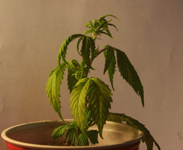 Help My Leaves Are Dying Grow Weed Easy