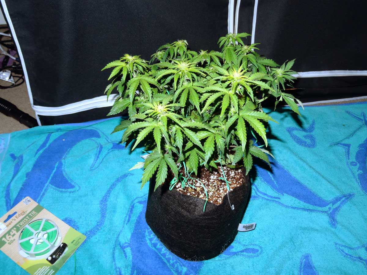 Sour Diesel auto-flowering cannabis plant - although itu0027s still suffering from some yellowing & Auto-flowering Grow Journal - 6.7 oz under 250W HPS!   Grow Weed Easy