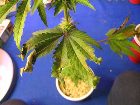 This odd cannabis leaf curling was caused by a combination of heat, overwatering, and incorrect root pH