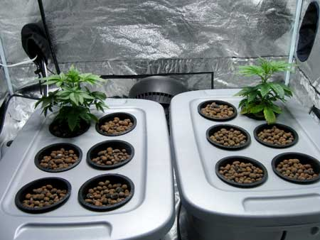 Two cannabis plants of different strains as seedlings