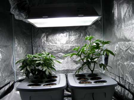 Example of an Indica (left) and Sativa (right) cannabis plant's different growth rates in the vegetative stage