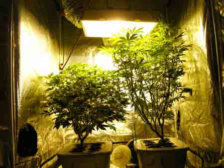 These cannabis plants have mostly reached the end of the flowering stretch