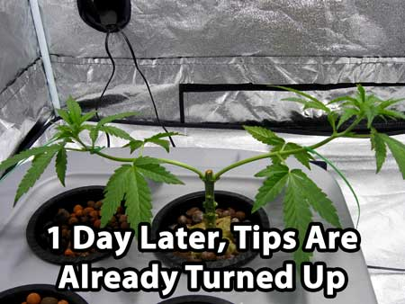 1 day later, growth tips have already turned up - manifolding tutorial