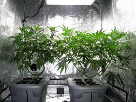 2 Marijuana plants under a Metal Halide Light in a grow tent - vegetative stage