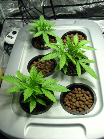3 young DWC cannabis plants in the vegetative stage