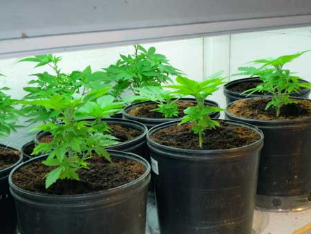 Switch to 12/12 when plants are around this side in order to start a SoG (sea of green) style cannabis grow