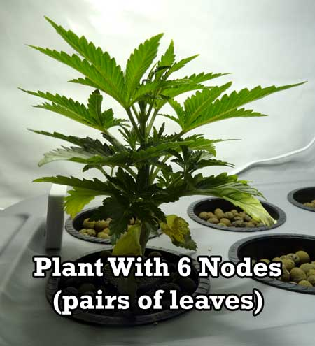 The first step to manifold cannabis is to wait until the plant has grown 5-6 nodes (pairs of leaves) like this young cannabis plant in the vegetative stage