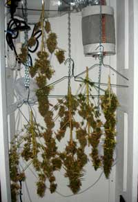 Buds drying on a DIY setup