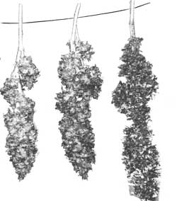 Drying marijuana buds on string