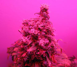 Fat bud grown under a 90W LED grow light