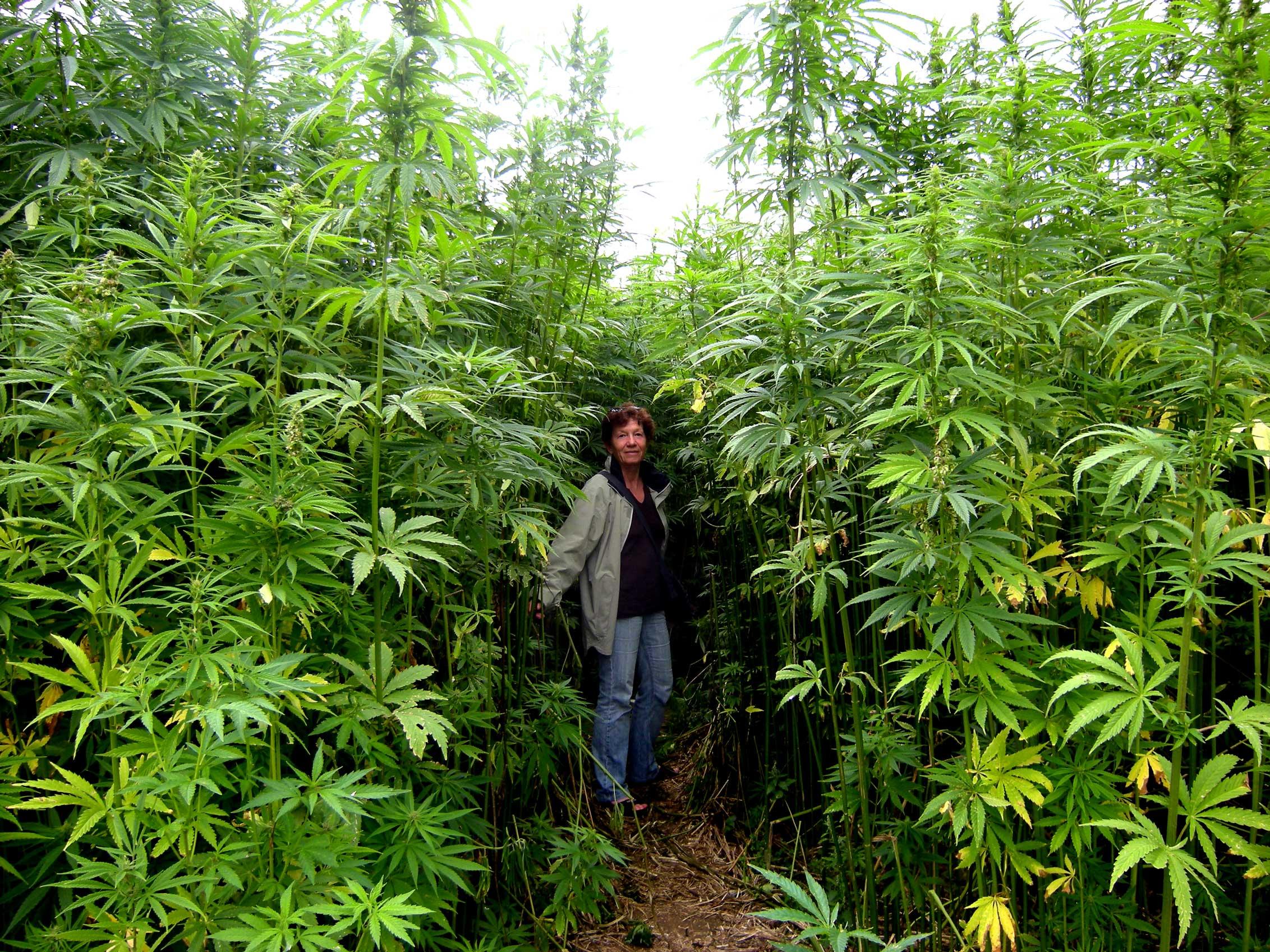 Image result for growing marijuana