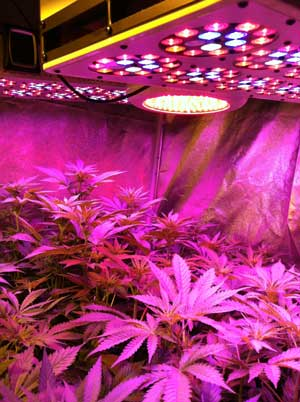 Advance Spectrum LED grow lights in action - cannabis plants in the vegetative stage