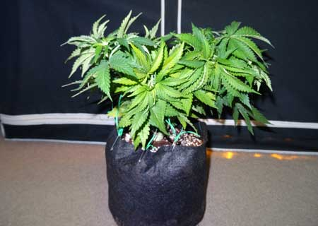 Here's that same marijuana plant after plant training - notice how all the colas are the same height and the plant now has a flat, table-top shape.