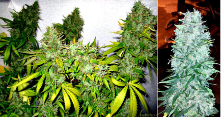 Order feminized AK-47 seeds by Serious Seeds today!
