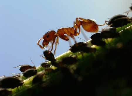 "In the wild, ants may actually tend to aphids in order to ""farm"" them and collect honeydew"