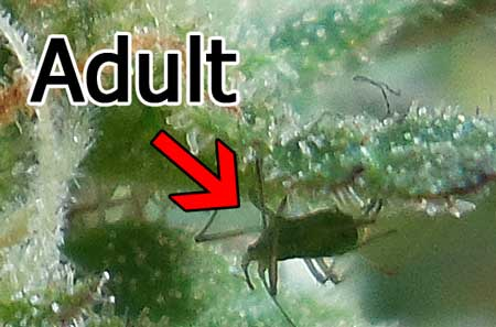 Adult aphid on cannabis plant