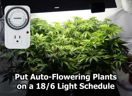 These auto-flowering marijuana plants that are about halfway to harvest. Is 18/6 the best light schedule for growing autos?