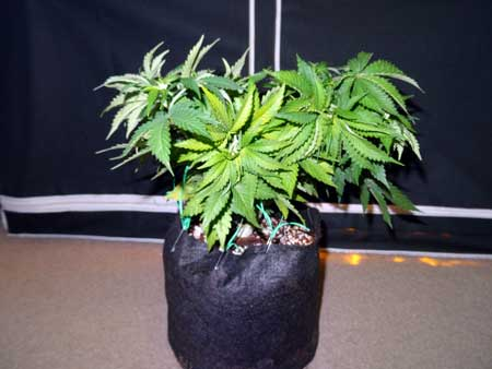 Example of training on auto-flowering cannabis plant - aftter being bent and secured via LST