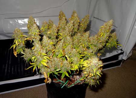Example of an auto-flowering Sour Diesel plant just before harvest - the potency of its buds are out of this world!