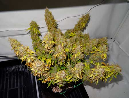 This auto Sour Diesel cannabis plant doesn't have many/any green leaves left, which means it's time to harvest!