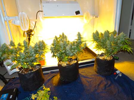 A view of the three auto-flowering cannabis plants outside their tent