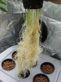 Glorious white roots!