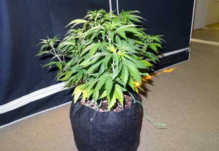 If any colas are getting taller than the others on your marijuana plant like this....