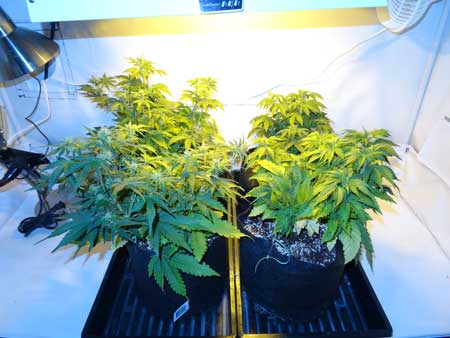 Beginning of week 5 for these auto-flowering plants - they're really starting to stretch!