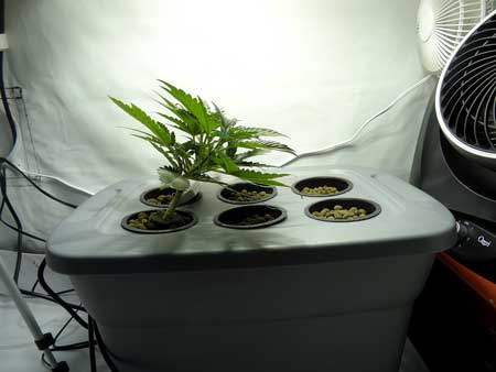 Bent cannabis plant using LST towards the middle of the tub, under the middle of the light