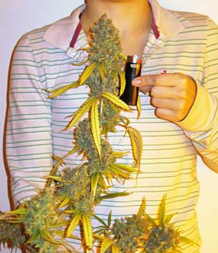 Big cannabis cola in hand - this single branch on a plant produced more than two ounces!