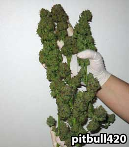 A BlackJack marijuana harvest
