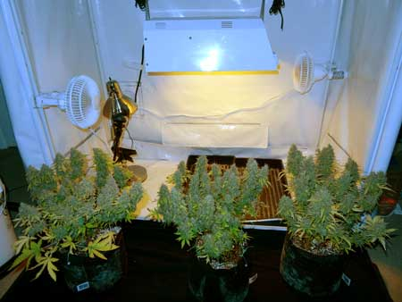 A view of the 3 auto-flowering plants just before harvested the plant all the way on the right - the Blue AutoMazar