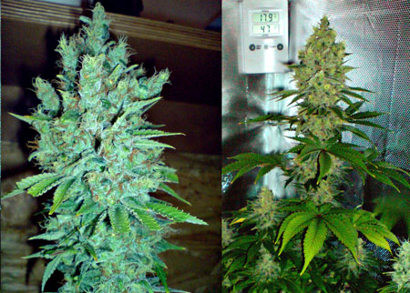 Get feminized Blue Cheese seeds by Buddha Seeds today!