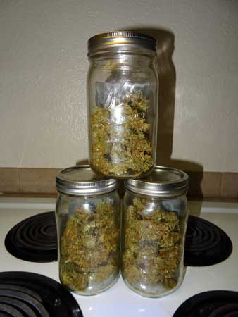Blue AutoMazar cannabis harvest in 3 jars