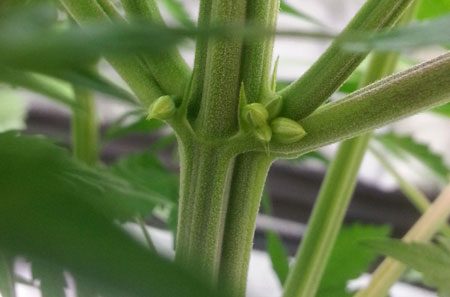 Male pollen sacs on a cannabis plant in the flowering stage