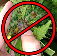 Reduces chances of cannabis bud rot!