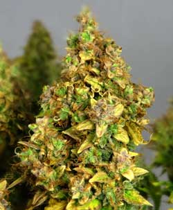 The sugar leaves on this bud were allowed to get yellow as the plant was deprived of nutrients too early in the flowering stage