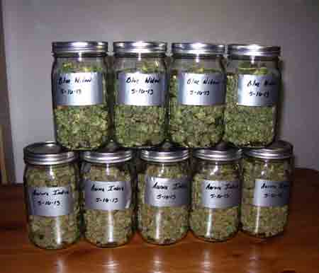 Cannabis buds should be cured in quart-sized mason jars to produce the best quality buds