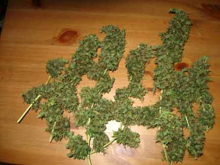 Example of cannabis buds from a Sativa plant that was just harvested